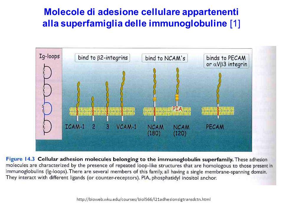 Molecole di adesione cellulare appartenenti alla superfamiglia delle immunoglobuline [1]